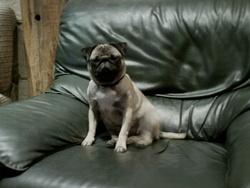 Chelsie, chien Carlin