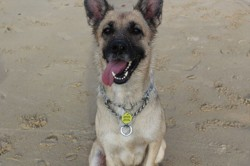 Chelssea, chien Berger belge