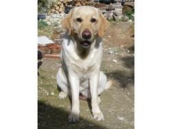 Chelsy, chien Labrador Retriever