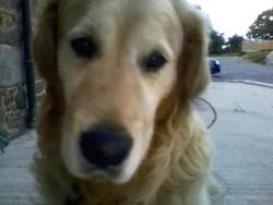 Chencko, chien Golden Retriever