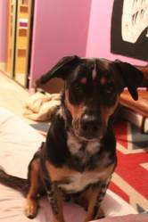 Chepa, chien Beauceron