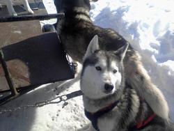 Cherazade, chien Husky sibérien