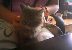 Cherie, chat Persan