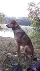 Cheriff, chien Berger allemand