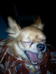 Cherk, chien Chihuahua