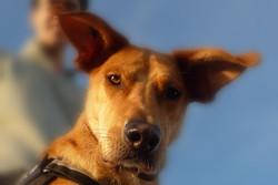 Cherkhan, chien