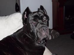 Cherry, chien Cane Corso