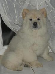 Chester, chien Chow-Chow