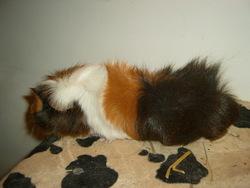 Chester, rongeur Cochon d'Inde