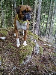 Chétif, chien Boxer