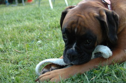 Chewby, chien Boxer