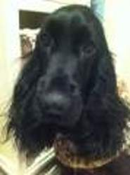 Cheyenne, chien Cocker anglais