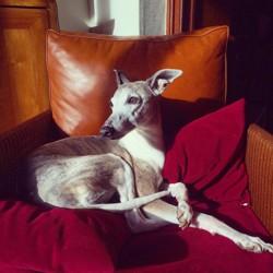 Cheyenne, chien Whippet