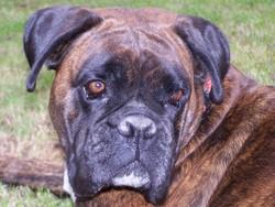 Cheyenne, chien Boxer