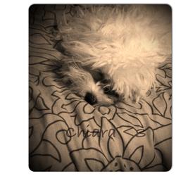 Chiara, chien Bichon maltais