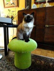 Chiara, chat Siamois