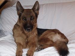 Chiara, chien Berger allemand