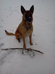 Chiara, chien Berger belge