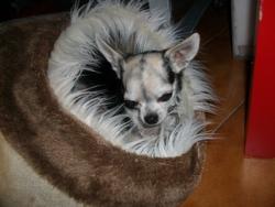 Chica, chien Chihuahua