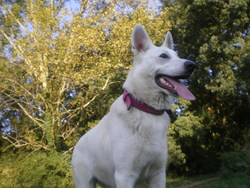 Chica, chien Berger blanc suisse
