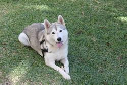 Chicca, chien Husky sibérien