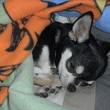 Chicco, chien Chihuahua