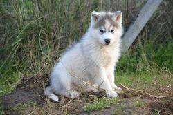 Chicco, chien Husky sibérien