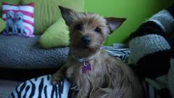 Chichi, chien Cairn Terrier
