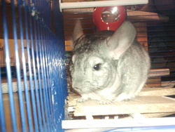 Chichie, rongeur Chinchilla