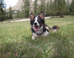 Chichi, chien Border Collie