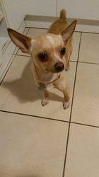 Chichi, chien Chihuahua