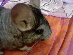 Chichi, rongeur Chinchilla