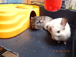 Chichi Et Tache , rongeur Chinchilla