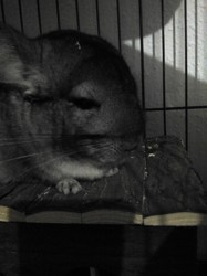 Chichouille, rongeur Chinchilla