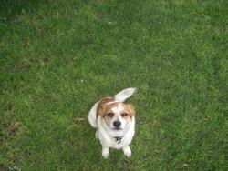 Chico, chien Fox-Terrier