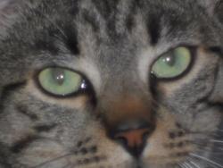 Chico, chat Européen