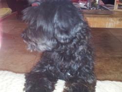 Chico , chien