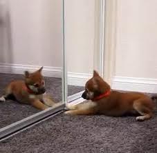 Chico, chien Chihuahua