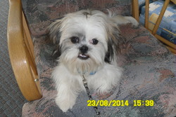 Chico, chien Shih Tzu