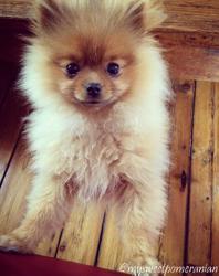 Chico, chien Spitz allemand