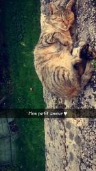 Chicorée, chat Européen