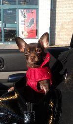 Chicot, chien Chihuahua