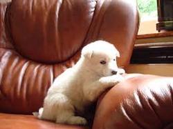 Chicou, chien