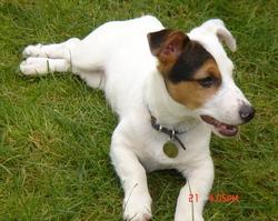 Chien, chien Jack Russell Terrier