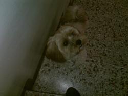 Chien Que J'Ai Rencontré, chien Bichon maltais