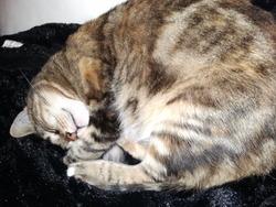 Chiffon, chat Gouttière