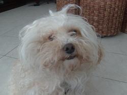 Chiffon, chien Bichon à poil frisé