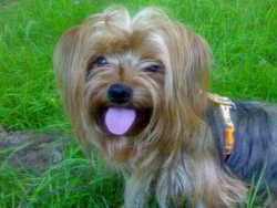Chifon, chien Yorkshire Terrier