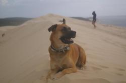 Chihiro, chien Berger belge