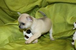 Chihuahua, chien Chihuahua